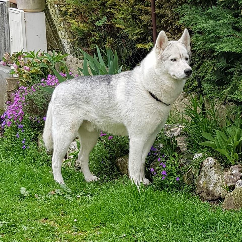 """KING chien loup blanc 5 ans """"boule de poils"""" (27) 30656810"""