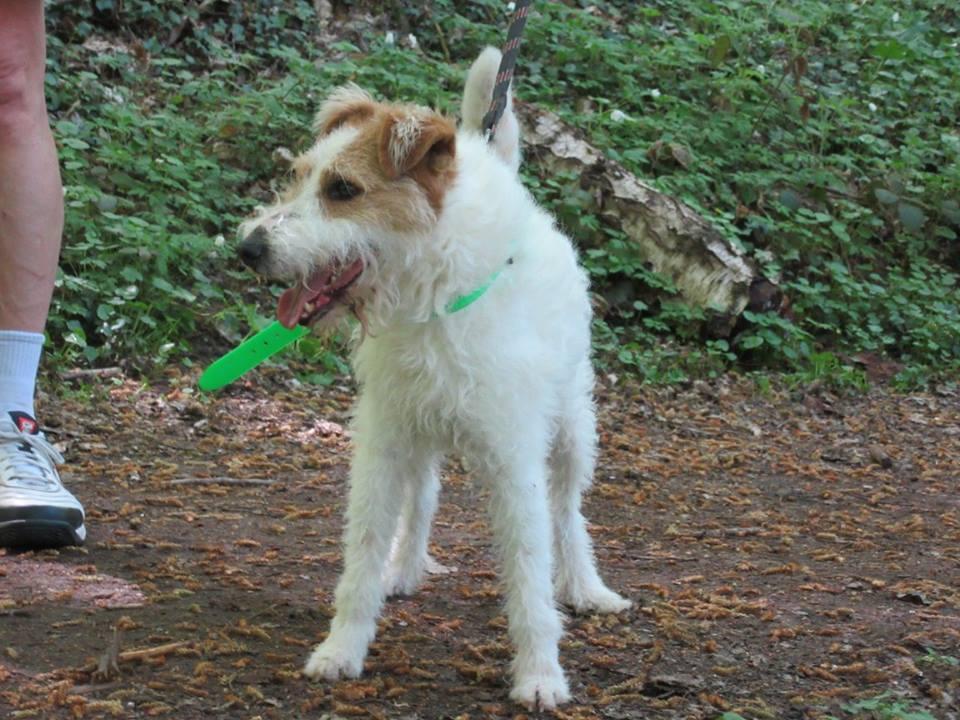 FILOU fox terrier 7 ans SPA d'EVREUX (27) 31120710