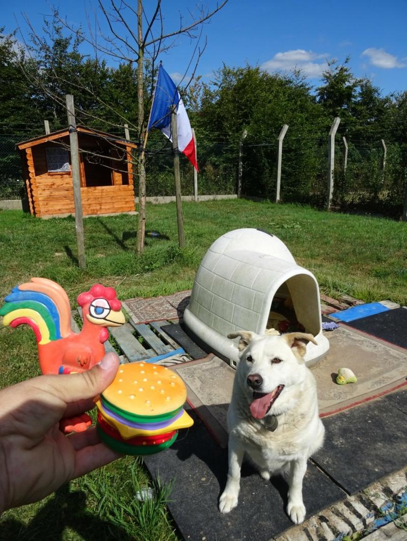 MARRON - x labrador 11 ans (8 ans de refuge)  SHPA à Le Havre (76) 36913010