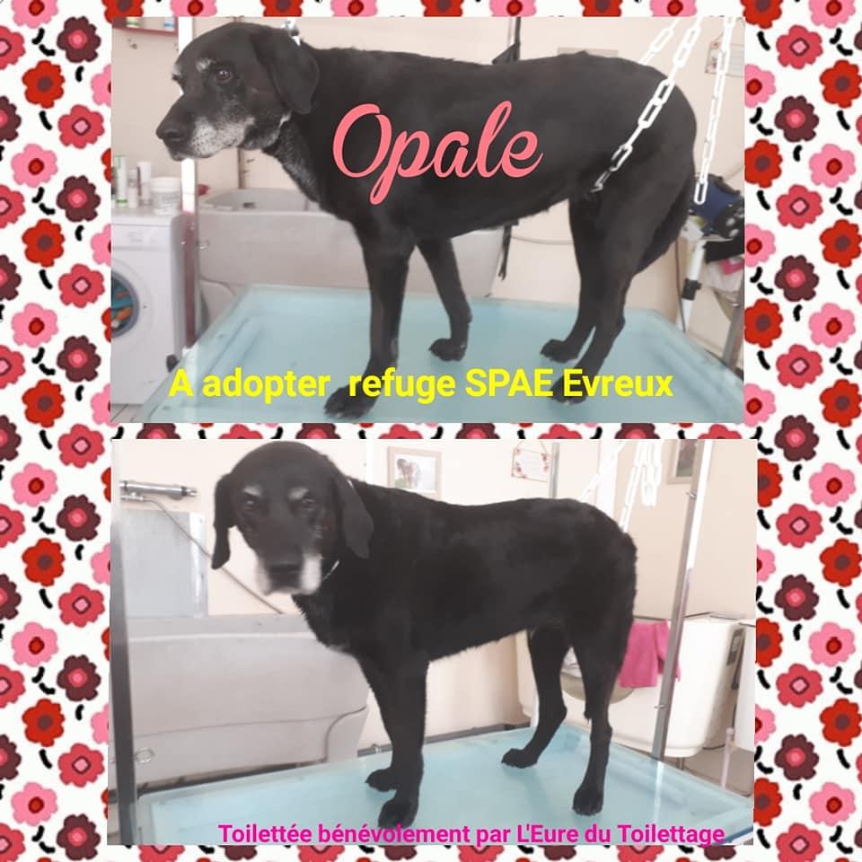 OPALE - x labrador 10 ans - SPAE à Evreux (27) 36973610