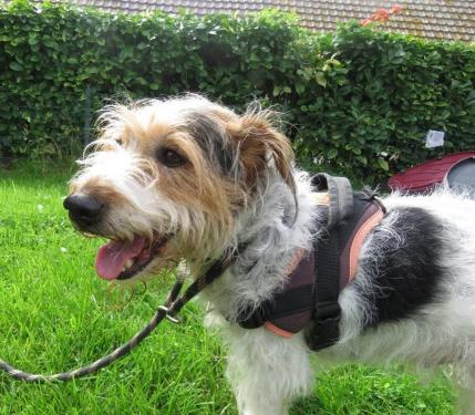 HERCULE fox terrier 6 ans SPA de CABOURG (14) 38870310
