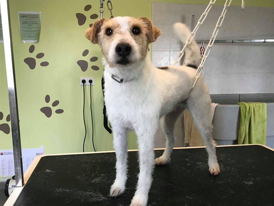 FILOU fox terrier 7 ans SPA d'EVREUX (27) 40694710