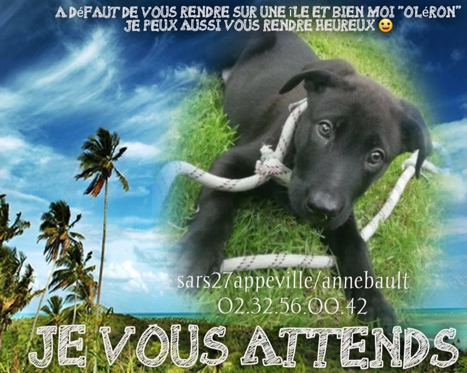 OLERON chiot 3 mois  labrador refuge appeville (27) 41534310