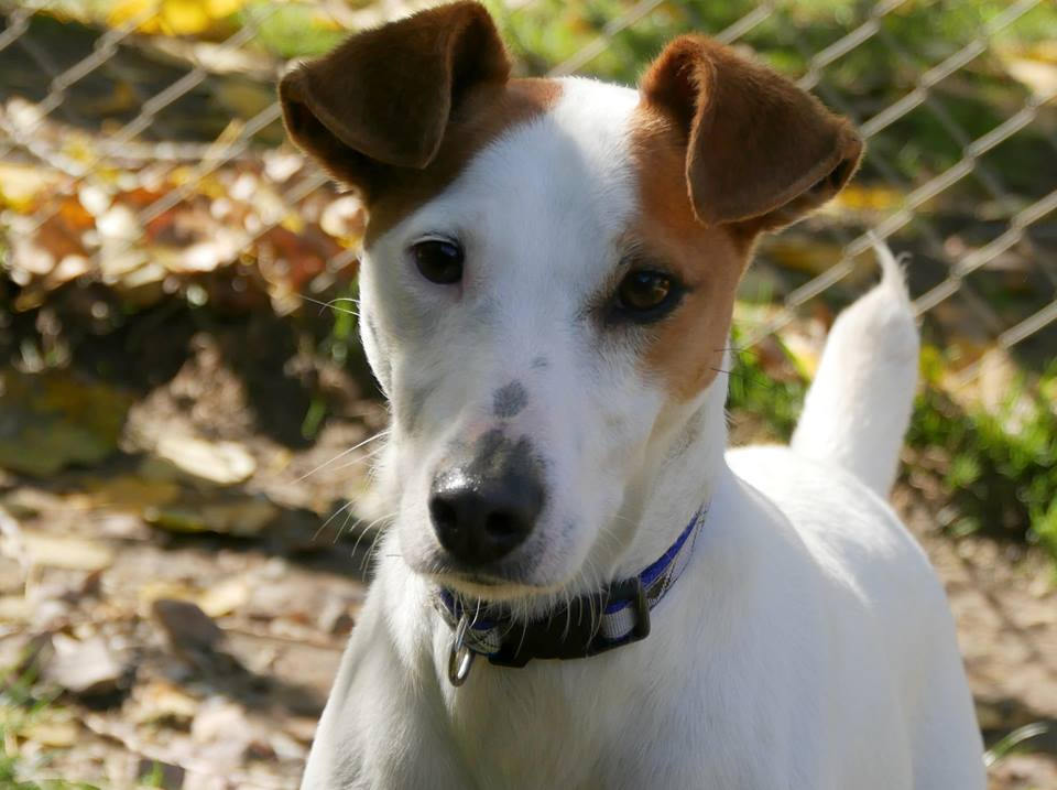 LUCKY jack russell 3 ans refuge de touques (14) 42465610