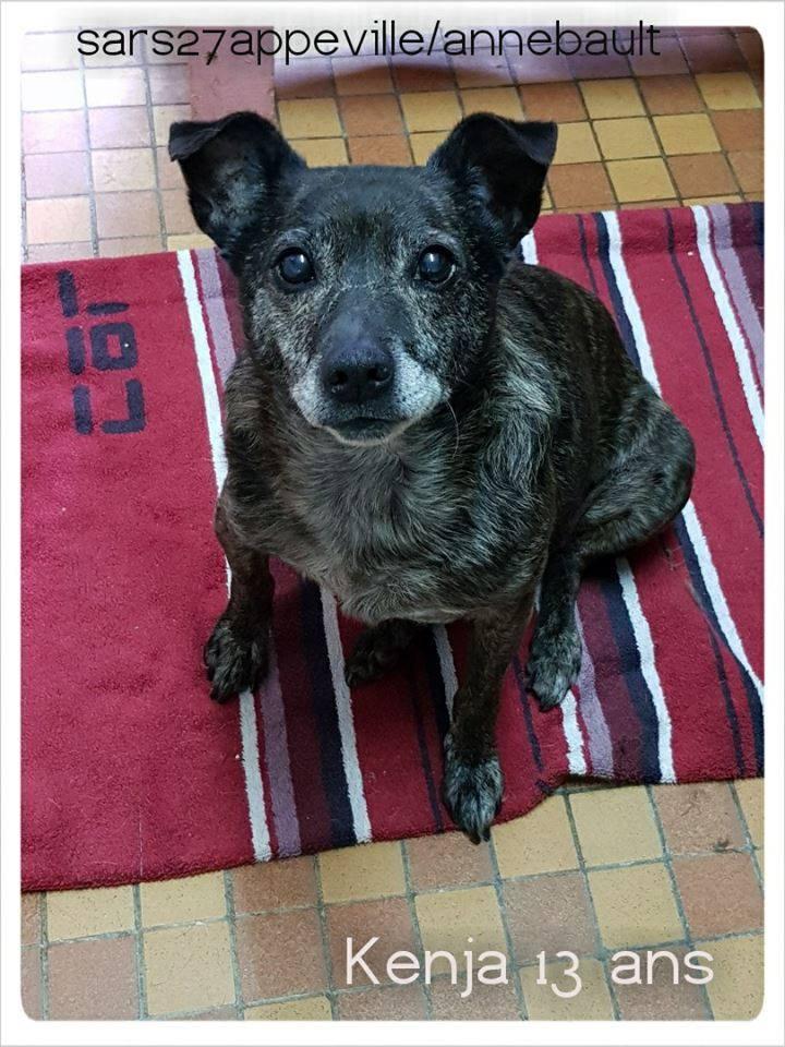 KENJA - x labrador 15 ans   (8 ans de refuge) -SARS Refuge  de l'Esperance à  Appeville Annebault (27) 42634410