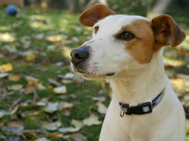 LUCKY jack russell 3 ans refuge de touques (14) 43059010