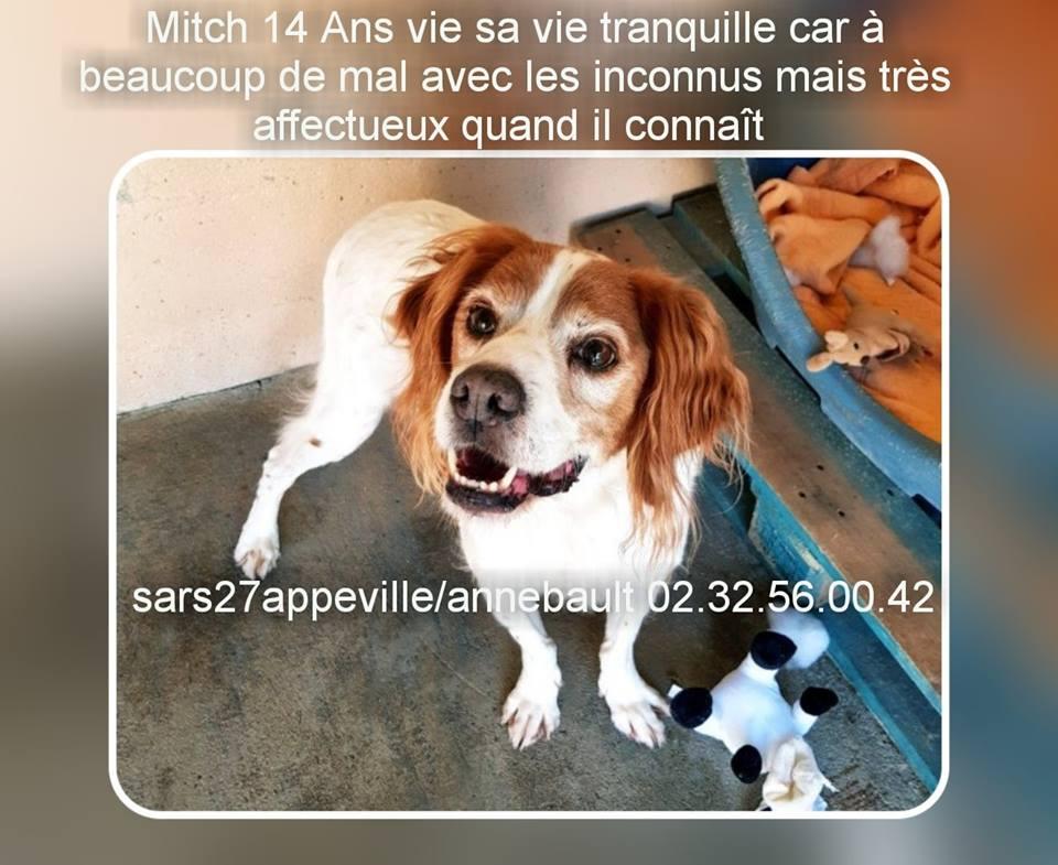 MITCH - epagneul breton 15 ans (10 ans de refuge)  - Refuge Esperance à Appeville (27) 43308110