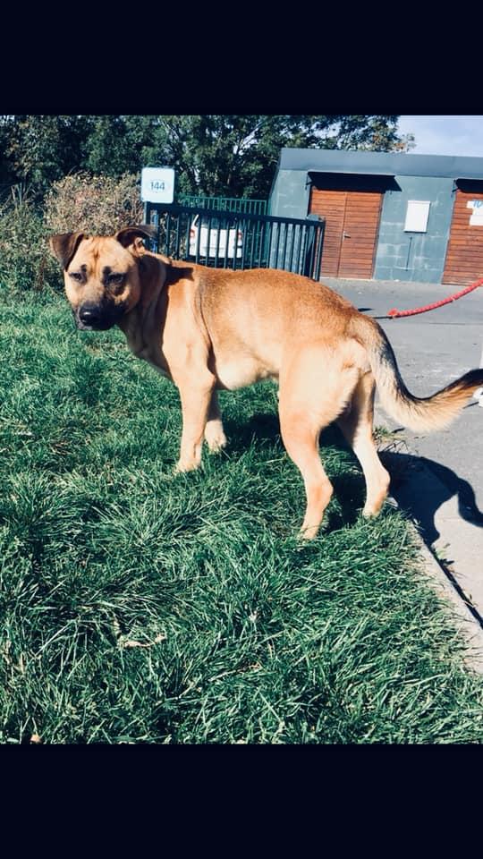 ROCKY x bull terrier/malinois 2 ans refuge augeron (14) 43604410