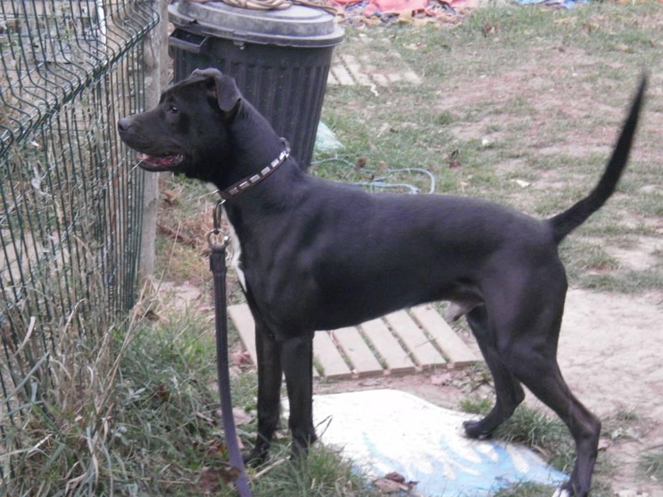 TYSON rebaptisé MARLEY dogue 1 an rott adoption (61) 44988810