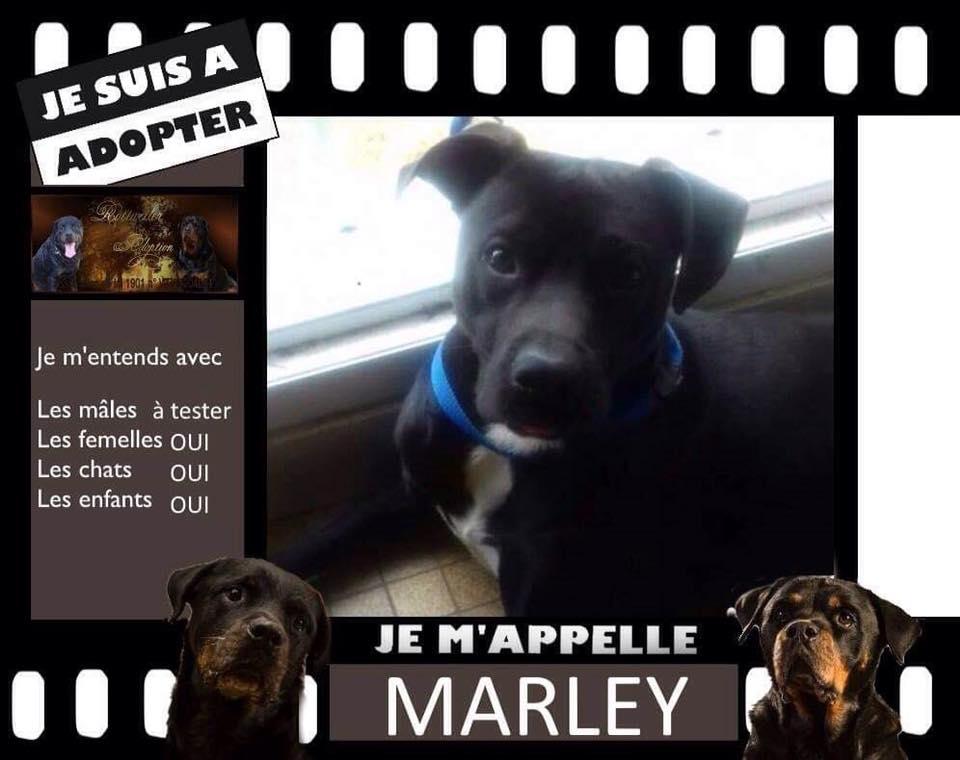 TYSON rebaptisé MARLEY dogue 1 an rott adoption (61) 46491810