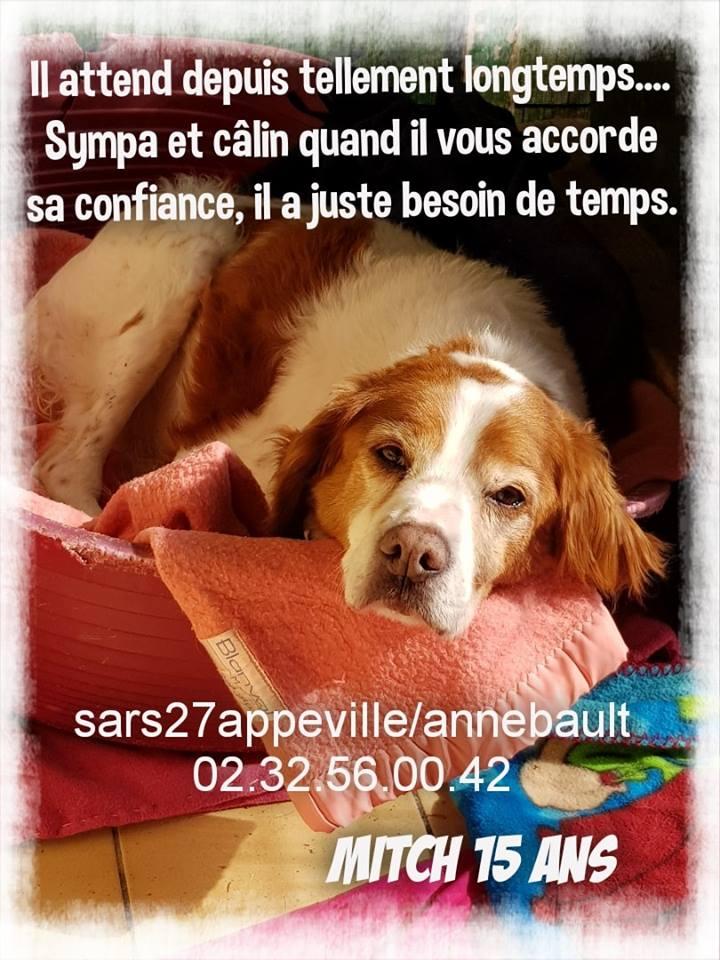 MITCH - epagneul breton 15 ans (10 ans de refuge)  - Refuge Esperance à Appeville (27) 56242410