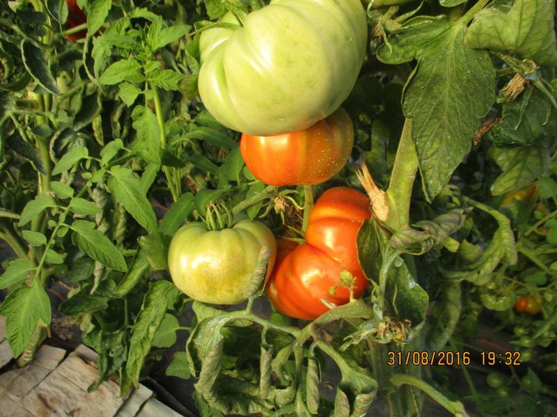 Tomates - Page 39 Img_1113
