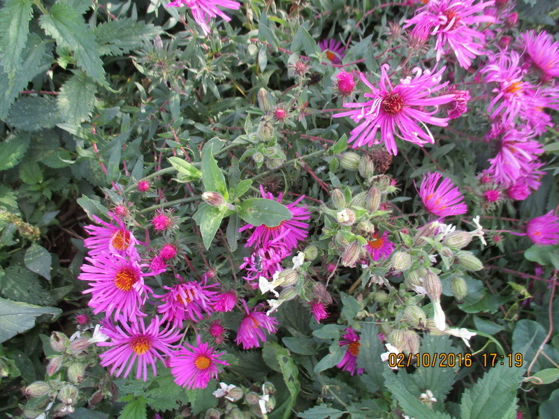 Aster d'automne  - Page 18 Img_2024
