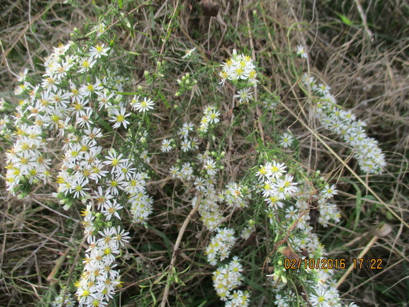 Aster d'automne  - Page 18 Img_2025