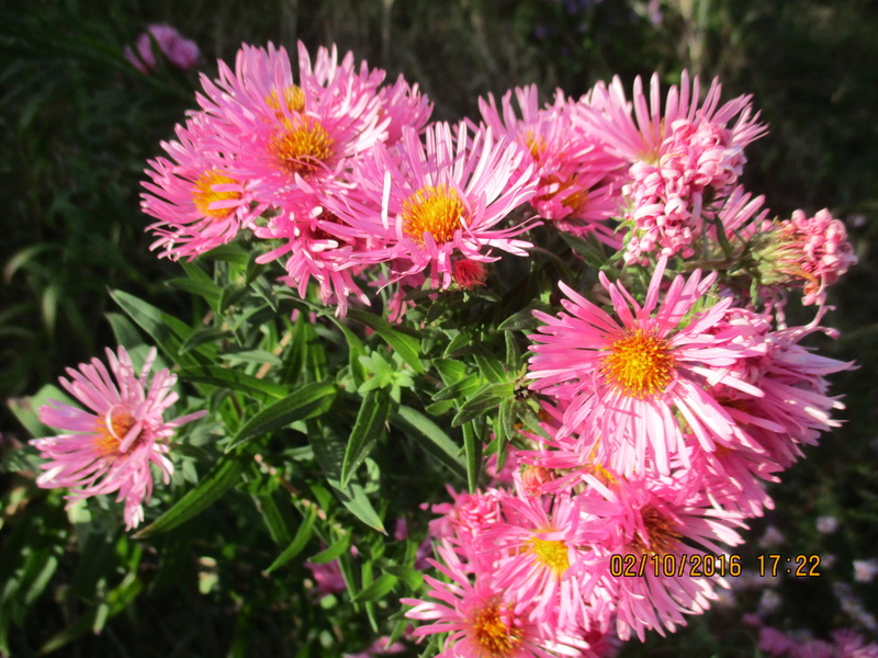 Aster d'automne  - Page 18 Img_2026