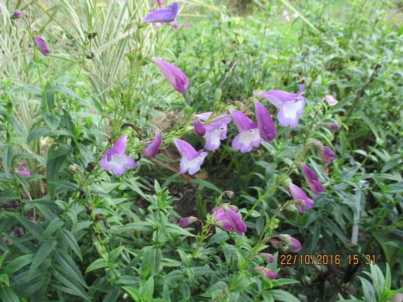 Penstemon - Page 14 Img_2335