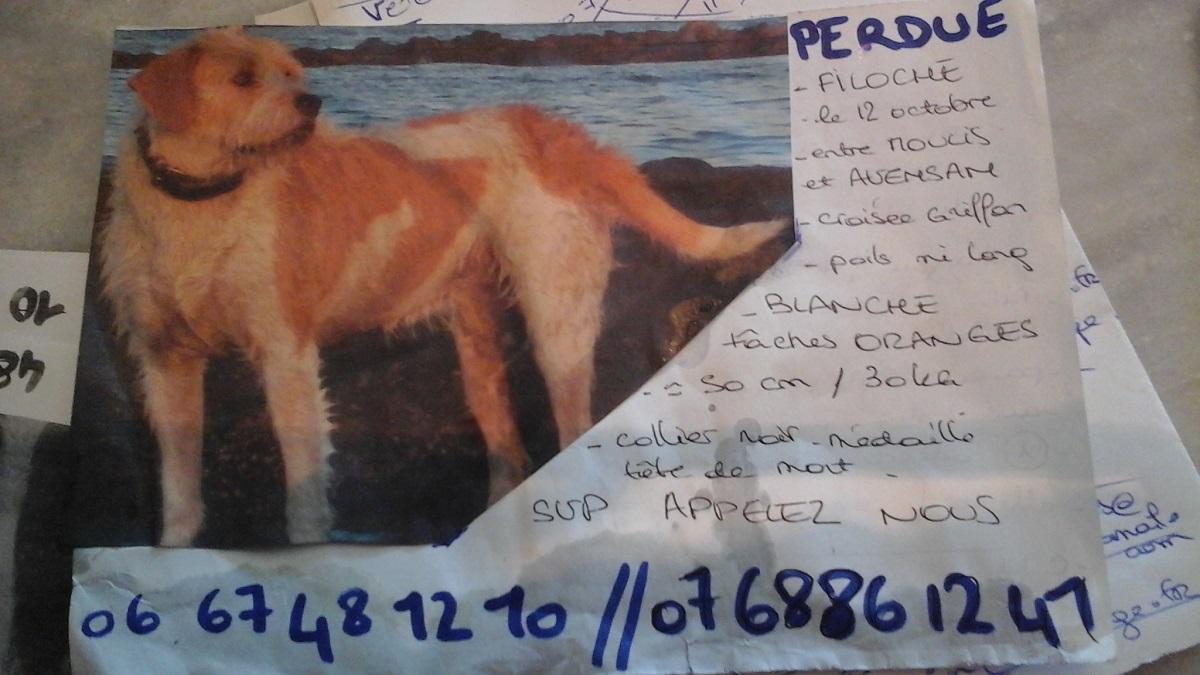 perdu : FILOCHE, griffon femelle blanche/orange entre moulis et avensan dpt 33 Filoch10
