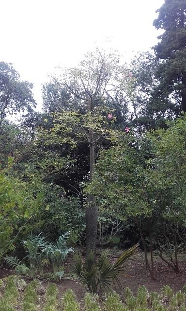 Ceiba speciosa (= Chorisia speciosa) 20161010