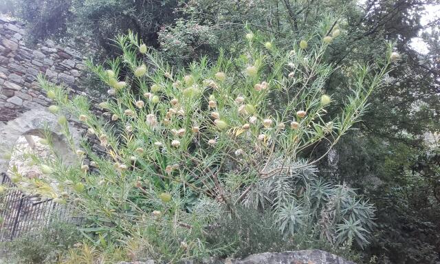 Gomphocarpus fruticosus - faux cotonnier Rps20100