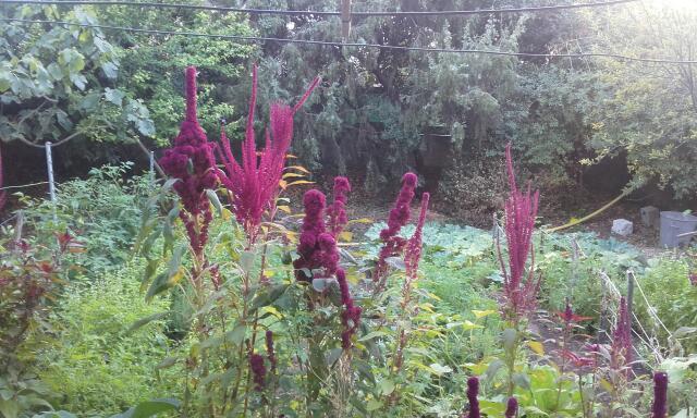Amaranthus - les amarantes horticoles - Page 5 Rps20111