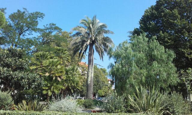 Jubaea chilensis - cocotier du Chili - Page 2 Rps20148