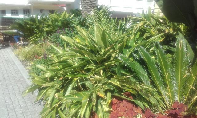 Alpinia zerumbet Rps20155