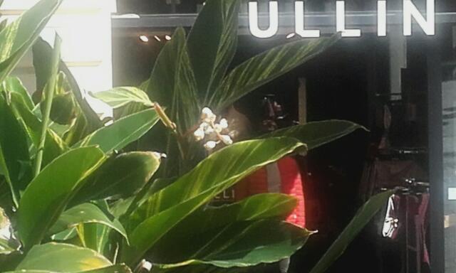 Alpinia zerumbet Rps20156