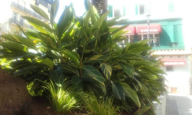 Alpinia zerumbet Rps20157