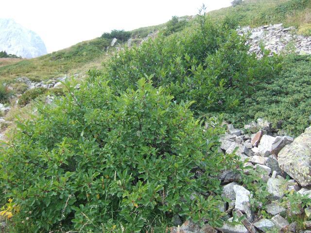 Frangula alnus (= Rhamnus frangula) - bourdaine Rps20169