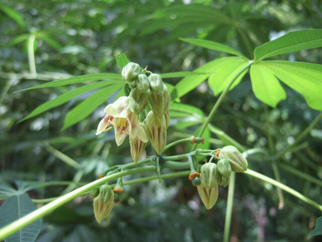 Manihot esculenta et carthaginensis (= grahamii) Rps20185