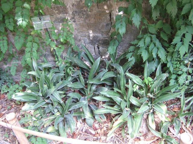 rohdea - Rohdea japonica - rohdée du Japon - Page 2 Rps20186