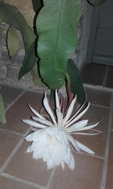 Epiphyllum oxypetalum - Page 2 Rps20192
