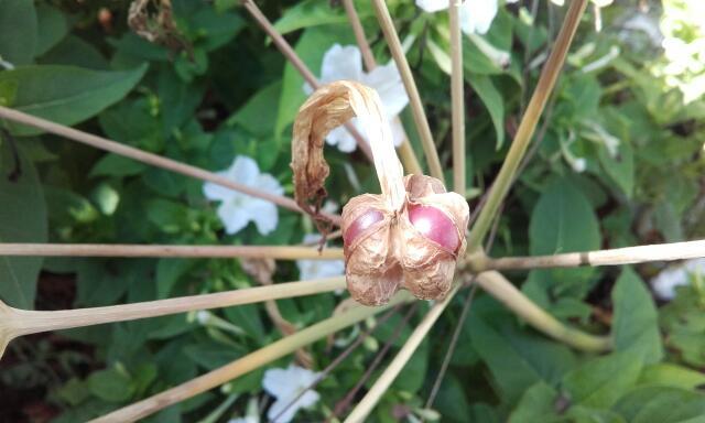 Amaryllis belladona - Page 3 Rps20204