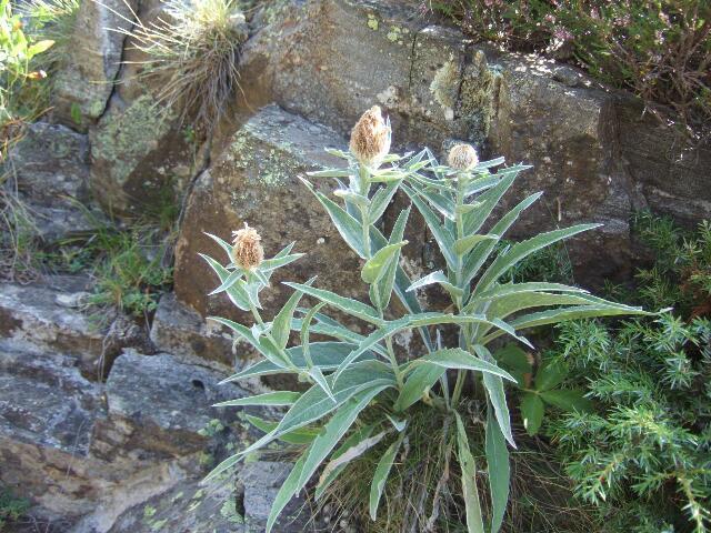 Centaurea uniflora - centaurée à une tête Rps20209