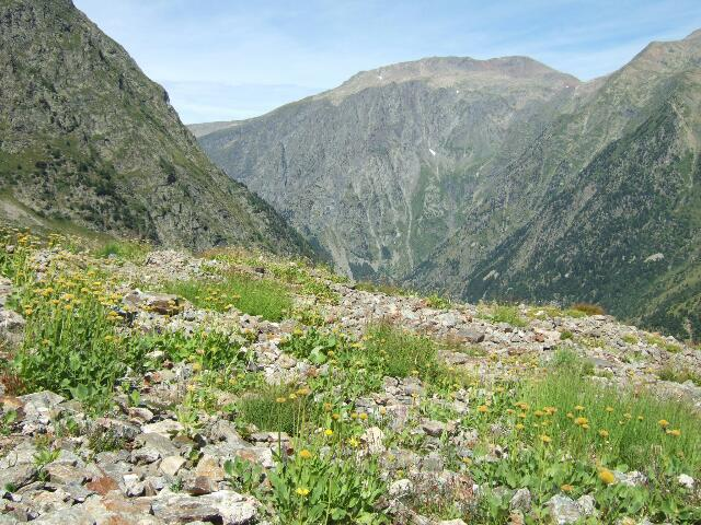 Arnica montana - arnica des montagnes Rps20215