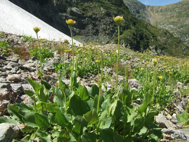 Arnica montana - arnica des montagnes Rps20216