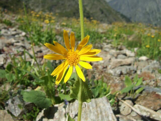 Arnica montana - arnica des montagnes Rps20217