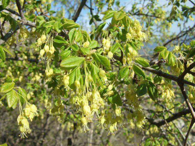 Acer monspessulanum - érable de Montpellier - Page 2 Rps20228