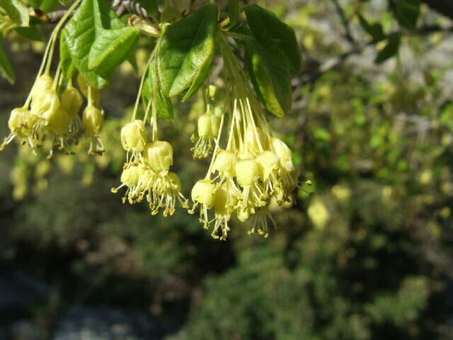 Acer monspessulanum - érable de Montpellier - Page 2 Rps20229