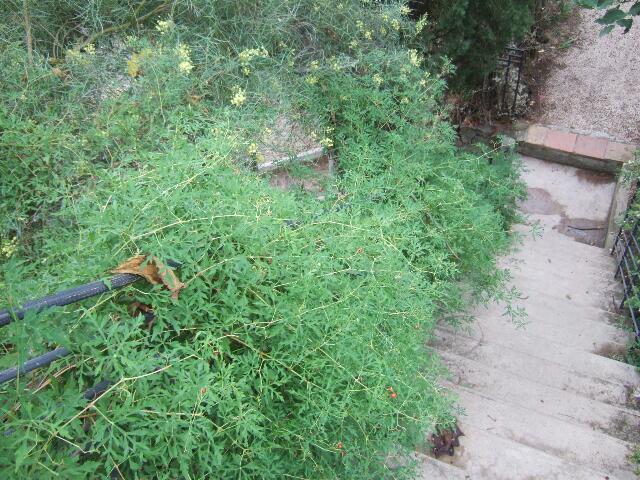 Ampelopsis aconitifolia Rps20239
