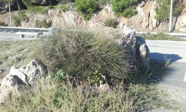 Ephedra distachya - raisin de mer Rps20261