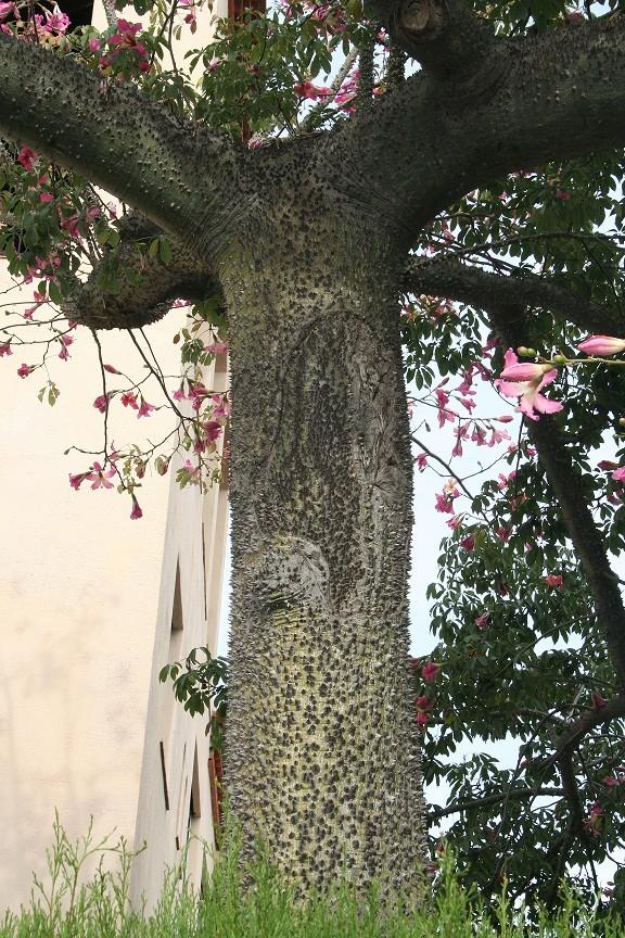 Ceiba speciosa (= Chorisia speciosa) Img_0610