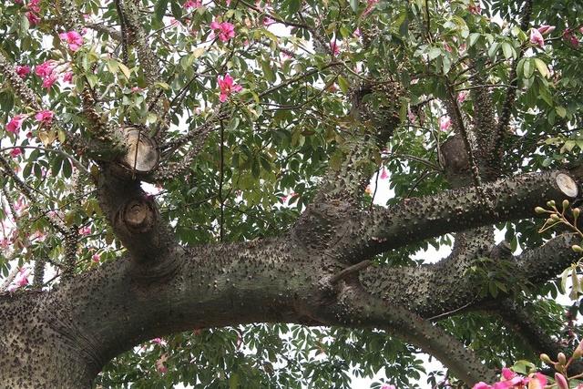 Ceiba speciosa (= Chorisia speciosa) Img_0611