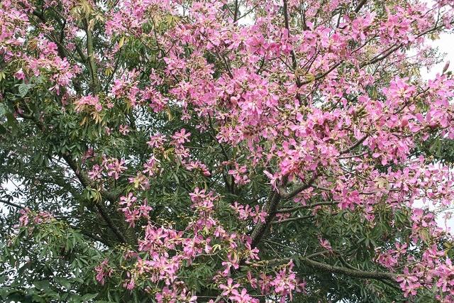 Ceiba speciosa (= Chorisia speciosa) Img_0612