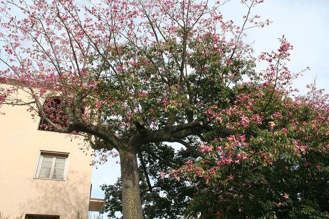 Ceiba speciosa (= Chorisia speciosa) Img_0613