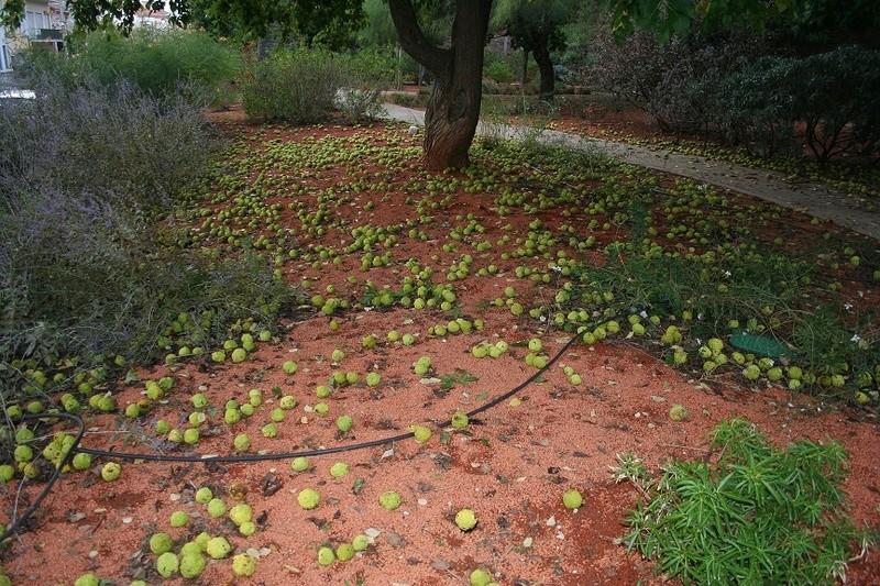 Maclura pomifera - oranger des Osages - Page 3 Img_0710