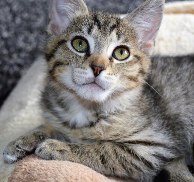 marilou - MARILOU, chatonne tigrée, née début 08/2016 Dsc_0028