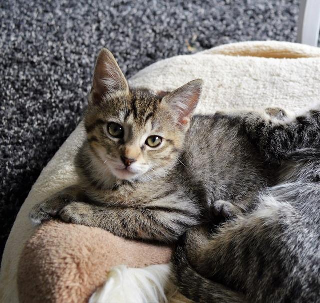 marilou - MARILOU, chatonne tigrée, née début 08/2016 Dsc_0031