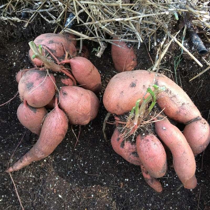 Sweet Potatoes - Page 3 Sweet_12