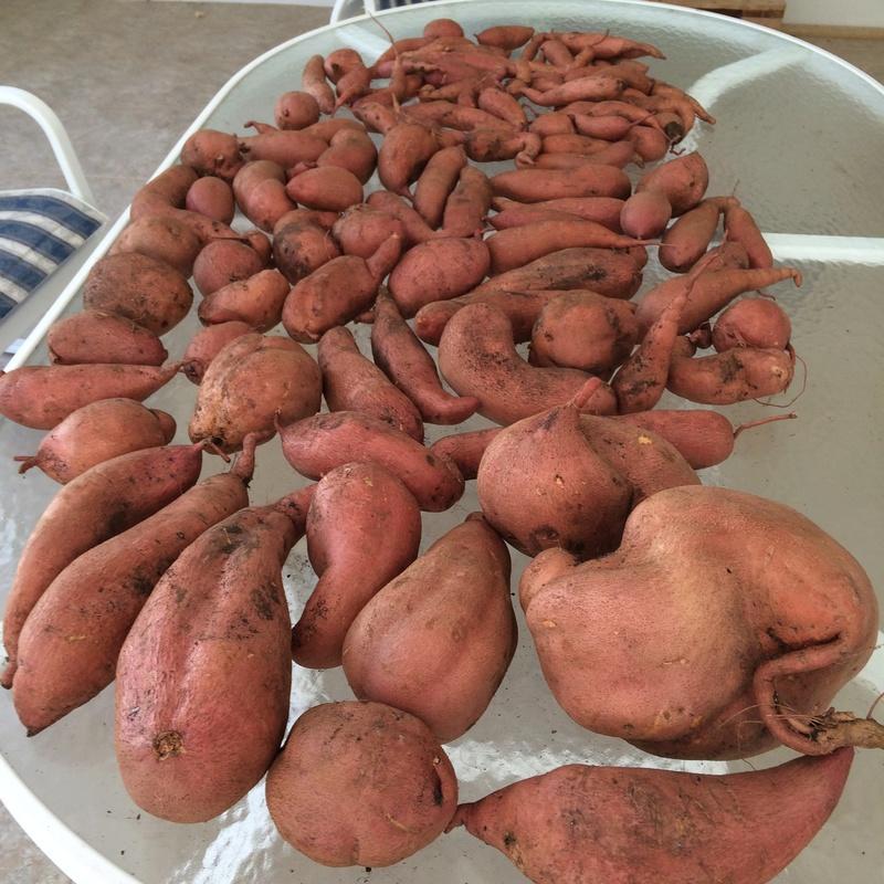 Sweet Potatoes - Page 3 Sweet_13